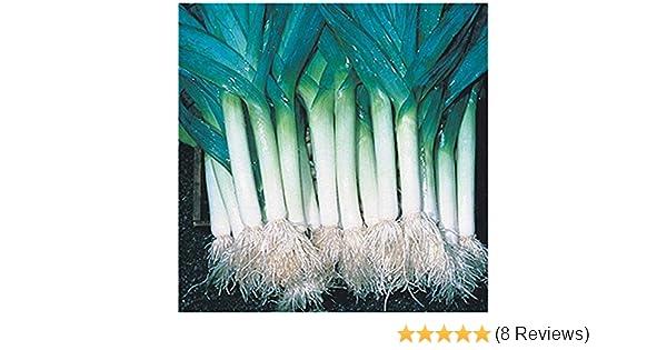 EDIBLE 20 LONGBOW LEEKS MINI PLUG PLANTS