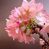 HONIC I Semi Confezione: 10 Pezzi rari Amore e di Speranza Giapponese Cherry Blossoms ofGardens per Bonsa Semi per agarden