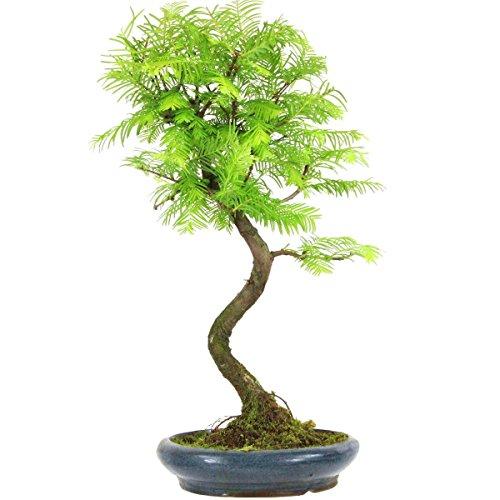 metasequoia-bonsai-10-ans-43cm
