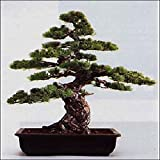 Tropica - Bonsai - pino blanco japonés (Pinus parviflora) - 12 semillas