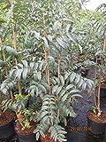Sorbus aucuparia Fingerprint - Eberesche Fingerprint