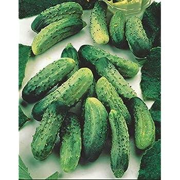 Concombre /à suspendre raffin/é Mini Stars F1 Bio Graines de concombre Snack L/égumes Graines de fruits L/égumes p/érennes rentables pour jardin Balcon//patio Cioler Seed House