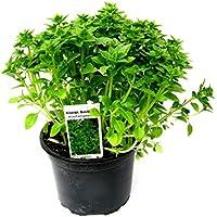 Kleinblättriger Basilikum, Basilikum Pflanze, Französisches Basilikum, 12cm Topf !