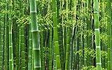 100 MOSO Bambus Samen, Phyllostachys pubescens, Bamboo seed, frischer Direktimport aus China Oktober 2017