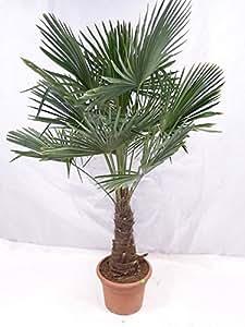 winterharte palme trachycarpus fortunei chinesische hanfpalme 180 cm stamm 50 cm amazon. Black Bedroom Furniture Sets. Home Design Ideas