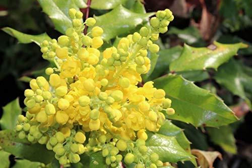 Gewöhnliche Mahonie - starke Pflanze im grossen 5lt Topf