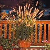 Beautytalk-Garten Bunte Lampenputzergras Ziergräser Federborstengras Raritäten Bunny Tails winterhart Blumensamen Mischung Garten Pflanzen winterhart mehrjährig (Typ03)