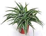 Chlorophytum comosum - Grünlilie luftreinigende, pflegeleichte Zimmerpflanze im 12 cm Topf - Gesamthöhe 30 cm - gute Ampelpflanze (Hängepflanze)