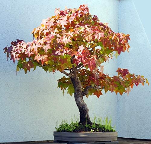 Sweet Gum Tree (Farmerly Sweet Gum Tree 7 Seeds - Liquidambar - Bonsai)