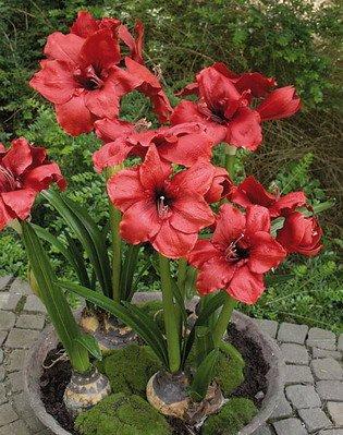 artplants – Deko Amaryllis rot mit 5 Blumen, getopft, 90 cm, Ø 58 cm – Rote Kunstblumen/Amaryllis künstlich