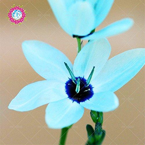 20pcs / bag Blaue Iris Samen, Schwertlilie Samen, seltene Bonsai Iris Phalaenopsis-Orchideen-Blumensamen, Natur Pflanzen für Haus Garten (Pflanze, Blau, Samen Orchidee,)