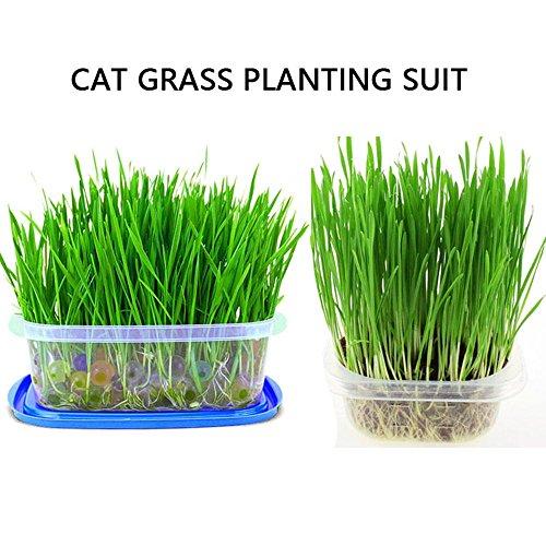 KOBWA Natural Cat Gras Pflanz Kit - Soilless schnell wachsenden Wheatgrass Pflanzen Set mit Box für Haarballen Control - Kristallkugel