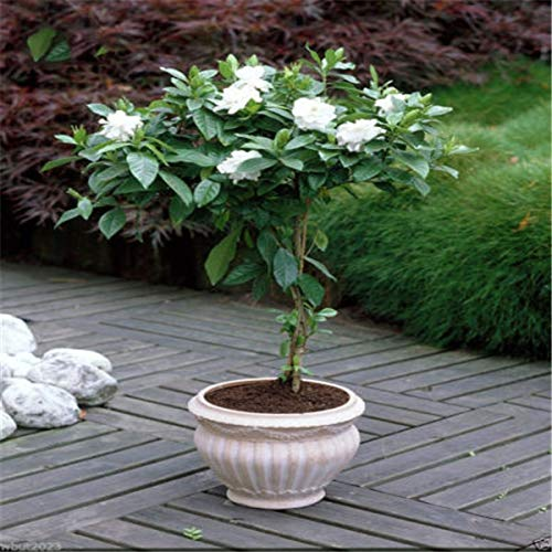 Shopmeeko SEEDS: 20pcs Blumen Cape Jasmin, (Gardenie) duftend Exotic Strauch - offen bestäuben