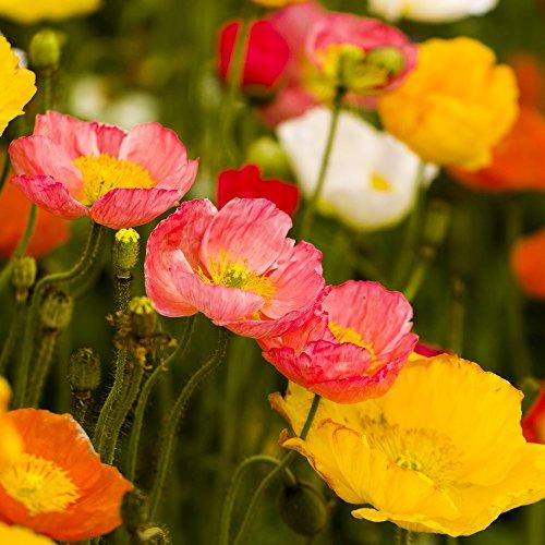Islande Poppy Mélange de graines - Pavot Nudicaule
