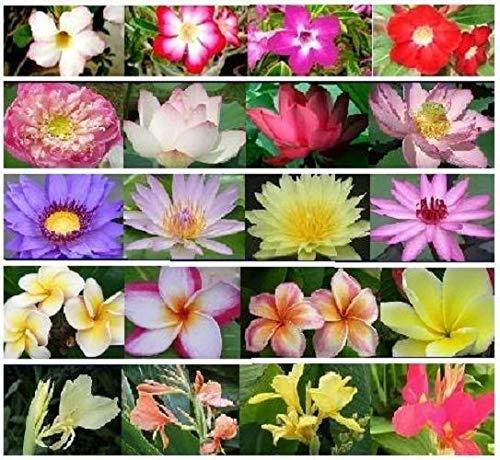 Portal cool water lily + lotus + canna + plumeria + adenium fresh seed + trasporto libero nel regno unito