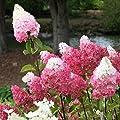 Yukio Samenhaus - 20 Stück Freiland-Hortensie winterhart mehrjährig Blumensamen Bauernhortensie Hydrangea macrophylla Gartenhortensien von Yukio - Du und dein Garten