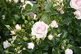 Aspirin Rose® - Container Rose im 4 ltr. Topf
