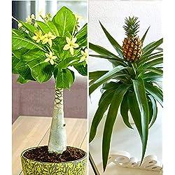 """BALDUR-Garten Zimmerpflanzen-Mix""""Südsee"""", 2 Pflanzen 1 Pflanze Hawaii-Palme und 1 Pflanze Ananaspflanze Corona"""
