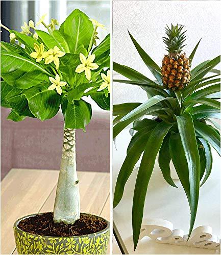BALDUR-Garten Zimmerpflanzen-Mix'Südsee', 2 Pflanzen 1 Pflanze Hawaii-Palme und 1 Pflanze Ananaspflanze Corona