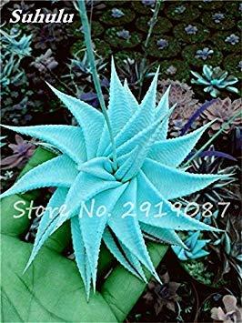 Nouveau! 20 Pcs coloré Cactus Rebutia Variété mélange exotique Aloe Graines Cacti Rare Bureau Cactus comestibles Beauté Succulent Bonsai Plante 4