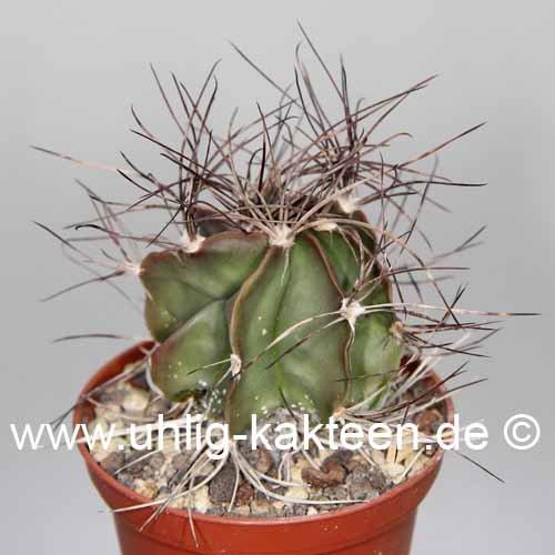 astrophytum-capricorne-saltillo-coahuila-25-cm