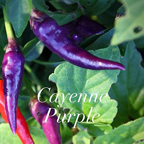 Portal Cool Hot Chilli Pepper - Purple Cayenne - 20 Samen