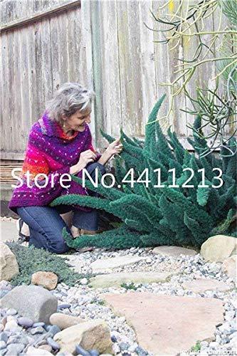soniry 100 pz erba bonsai coda di volpe fern bonsai rari vitigni erba mista fogliame bonsai pianta esotica per la casa giardino di impianto: 24