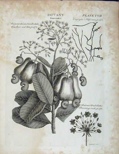 encyclopedie-britannica-denneandria-darbre-decrou-de-botanique