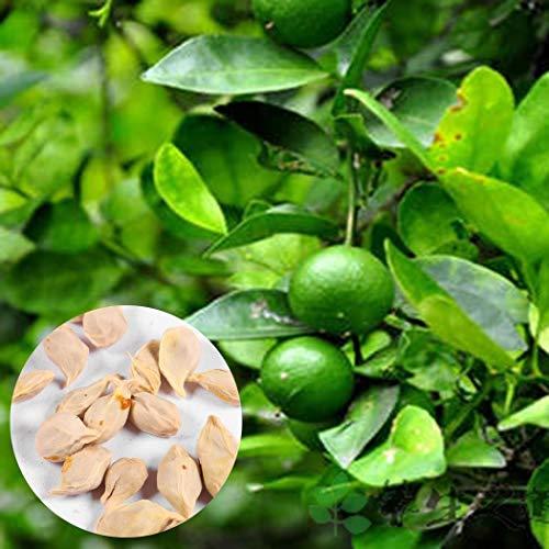 Keptei Samenhaus- Exotische 20 Stück Mini Grüne Zitrone Kalk Samen Limette Bonsai Baum Balkon Eingemachte Grüne Obstbäume saftigen Früchte Saatgut