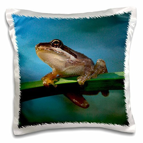 Frogs - USA, California, San Diego, Mission Trails Regional Park. Tree Frog. - 16x16 inch Pillow Case (Park Mission Trails)
