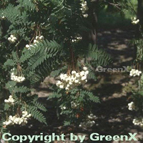 Weiße Zwerg Eberesche 100-125cm – Sorbus koehneana