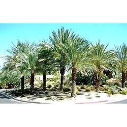 Tropical Palm Phoenix Dactylifera 5 Samen ~ Dattelpalme ~ Medjool Datum essbare Früchte