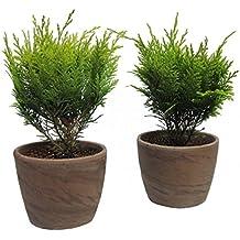 Amazon.de Pflanzenservice Immergrüne Minis im Ton-Topf gelbe Gartencypresse, 2 Pflanzen