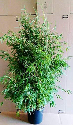 Bambus, Höhe: 140-150 cm, winterhart, immergrün, Fargesia murielae Jumbo + Dünger