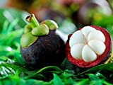 M-Tech Gardens Mangosteen Fruit Plant Tasty tropical Fruit 2 Healthy Live Plants (MTECH-09)
