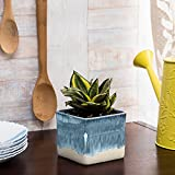 Exotic Green Indoor Oxygen & Air Purifier Plant Milt In White & Blue Ceramic Pot