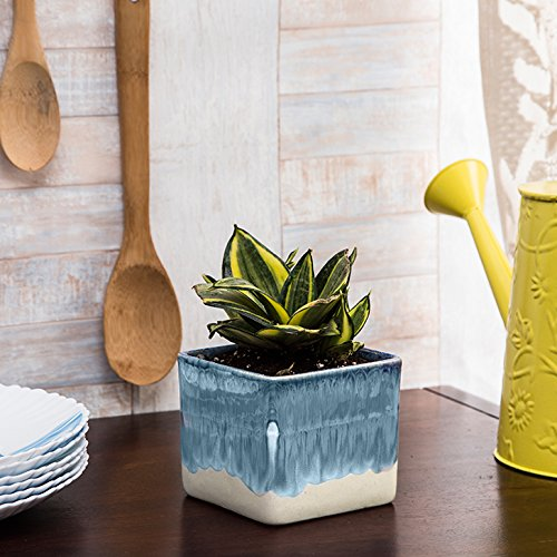 Exotic Green Indoor Oxygen & Air Purifier Plant MILT in White & Blue Ceramic Pot