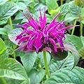lichtnelke - Indianernessel (Monarda fistulosa LEDERSTRUMPF) von Lichtnelke Pflanzenversand auf Du und dein Garten