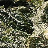 Glanz Schildfarn - Polystichum aculeatum - Farn