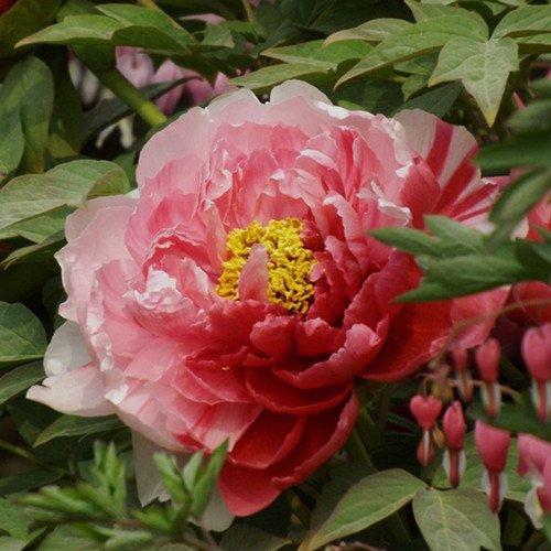 10 pcs / sac graines de pivoines Terrasse Cour Jardin Paeonia Suffruticosa Graines de fleurs vivaces plantes en pot pour le jardin de la maison 21