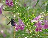 Desert Weiden Samen Baum/Bush mit Orchidee wie Blumen chilopsis Linearis Duschrinne Linearis 25Samen