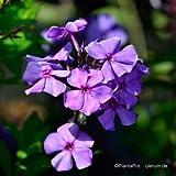 Flammenblume, Phlox paniculata 'Blue Paradise'