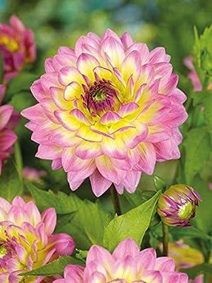 Lemo Gartendesign Dahlie `Jowey Gipsy` (Dahlia Ball `Jowey Gipsy`, 1 Stück) von Lemo Gartendesign - Du und dein Garten