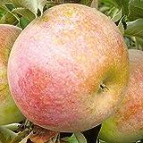 Apfelbaum Pompink LH 80 - 100 cm, Äpfel rot, Säulenobst, stark wachsend, im Topf, Obstbaum winterhart, Malus domestica