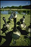 008102 Canada Geese A4 Photo Poster Print 10x8