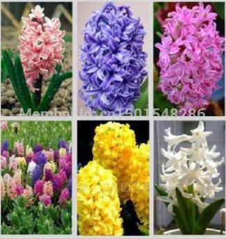graines de jacinthe, livraison gratuite à bas prix des graines de parfum de jacinthe, mêlant différentes variétés - 100 graines Hyacinthus Orientalis