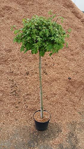 Acer campestre Nanum Kugel-Feldahorn Kugelahorn Ahorn auf Stamm veredelt verschiedene Größen (Stammhöhe 125 cm)