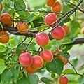 Mirabelle 'Bellamira', 1 Pflanze von Dominik Gartenparadies - Du und dein Garten