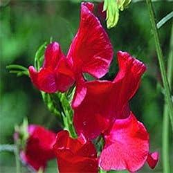 Frische 250 Samen - Wicken Königs Scarlet Blumensamen