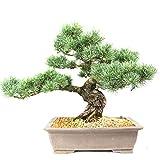 Pino blanco japonés, Pinus parviflora, bonsái para exterior, 37 años, altura 45 cm